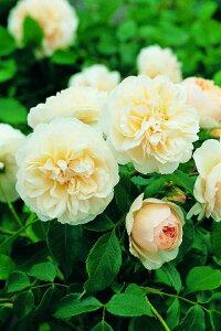 レッチフィールド・エンジェル(大苗)7号鉢植え イングリッシュローズ(デビッド・オースチンローズ) バラ苗