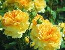 モリニュー(大苗)7号鉢植え イングリッシュローズ(デビッド・オースチンローズ) バラ苗