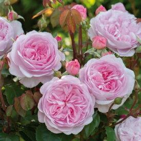 オリビア・ローズ・オースチン(大苗予約)7号鉢植え《2014年新品種》 イングリッシュローズ(デビッド・オースチンローズ) つるバラ バラ苗