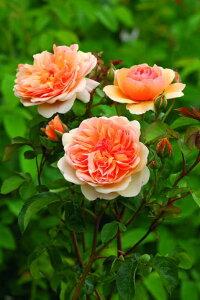 ポート・サンライト(大苗予約)7号鉢植え イングリッシュローズ(デビッド・オースチンローズ) バラ苗