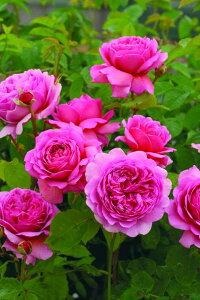 プリンセス・アレキサンドラ・オブ・ケント(大苗予約)7号鉢植え イングリッシュローズ(デビッド・オースチンローズ) バラ苗