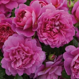 プリンセス・アン(大苗予約)7号鉢植え《2010年品種》 イングリッシュローズ(デビッド・オースチンローズ) バラ苗