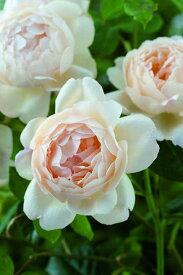ウォラトン・オールド・ホール(大苗予約)《2011年新品種》 7号鉢植え イングリッシュローズ(デビッド・オースチンローズ) バラ苗