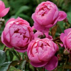 ロイヤル・ジュビリー(大苗予約)《2012年新品種》7号鉢植え イングリッシュローズ(デビッド・オースチンローズ) バラ苗