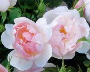 スキャボロ・フェアー(大苗予約)7号鉢植え イングリッシュローズ(デビッド・オースチンローズ) バラ苗