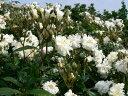 スノーグース(大苗)7号鉢植え イングリッシュローズ(デビッド・オースチンローズ) つるバラ バラ苗