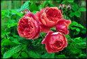 サマーソング(大苗)7号鉢植え イングリッシュローズ(デビッド・オースチンローズ) つるバラ バラ苗
