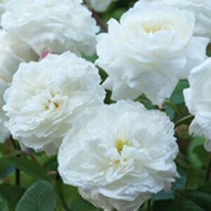 スーザン・ウイリアムズ・エリス(大苗予約)7号鉢植え《2010年新品種》 イングリッシュローズ(デビッド・オースチンローズ) バラ苗