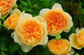 ティージング・ジョージア(大苗予約)7号鉢植え イングリッシュローズ(デビッド・オースチンローズ) つるバラ バラ苗