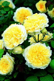 ザ・ピルグリム(大苗予約)7号鉢植え イングリッシュローズ(デビッド・オースチンローズ) バラ苗