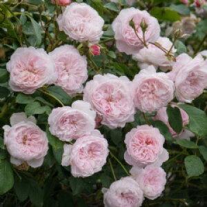 ジ・オルブライトン・ランブラー(大苗予約)《2014新品種》7号鉢植え イングリッシュローズ(デビッド・オースチンローズ) バラ苗