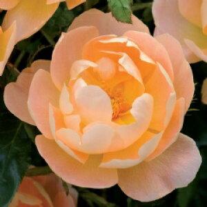 ザ・ラーク・アセンディング(大苗予約)7号鉢植え イングリッシュローズ(デビッド・オースチンローズ) バラ苗
