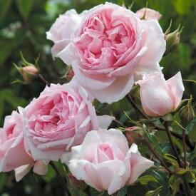 ザ・ウェッジウッド・ローズ(大苗予約)7号鉢植え《2009年新品種》 イングリッシュローズ(デビッド・オースチンローズ) つるバラ バラ苗