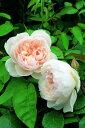 ザ・ジェネラスガーデナー(大苗)7号鉢植え イングリッシュローズ(デビッド・オースチンローズ) つるバラ バラ苗