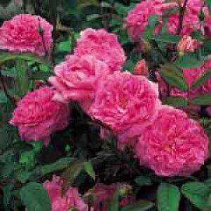ザ・メイフラワー(大苗予約)7号鉢植え イングリッシュローズ(デビッド・オースチンローズ) バラ苗 The Mayflower(Austilly)