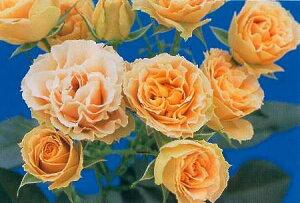 アンティークレース(大苗)7号鉢植え  四季咲き中輪房咲き系(フロリバンダローズ)スプレー咲き バラ苗