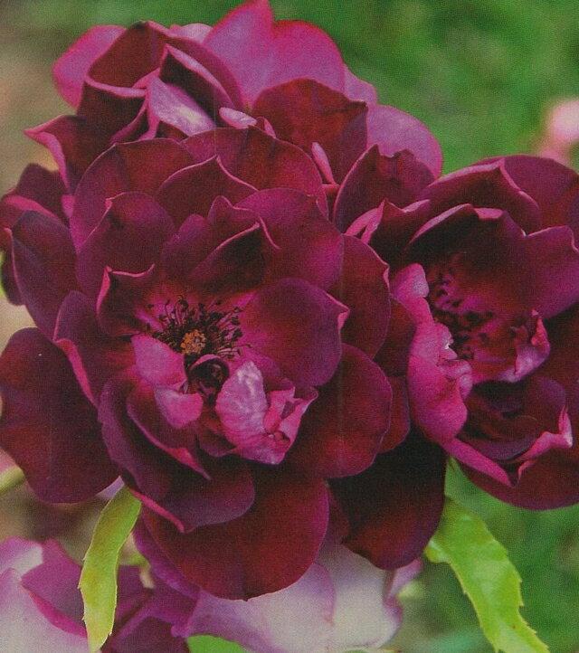 バーガンディ・アイスバーグ(大苗)7号鉢植え  四季咲き中輪房咲き系(フロリバンダローズ)スプレー咲き バラ苗
