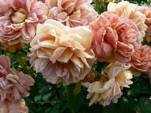 カフェ(大苗)7号鉢植え  四季咲き中輪房咲き系(フロリバンダローズ)スプレー咲き バラ苗