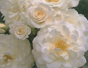 ファビュラス!(大苗予約)7号鉢植え  四季咲き中輪房咲き系(フロリバンダローズ)スプレー咲き バラ苗