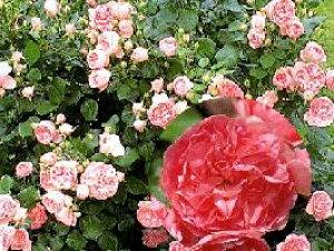 ギィ・ドゥ・モーパッサン(大苗)7号鉢植え  四季咲き中輪房咲き系(フロリバンダローズ)スプレー咲き バラ苗