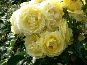 ゴールデンボーダー(新苗)6号鉢植え  四季咲き中輪房咲き系(フロリバンダローズ)スプレー咲き バラ苗