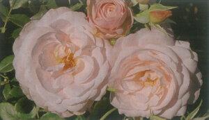 花ぼんぼり(大苗予約)7号鉢植え  四季咲き中輪房咲き系(フロリバンダローズ)スプレー咲き バラ苗
