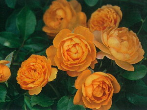 ハニーキャラメル(大苗予約)7号鉢植え  四季咲き中輪房咲き系(フロリバンダローズ)スプレー咲き バラ苗