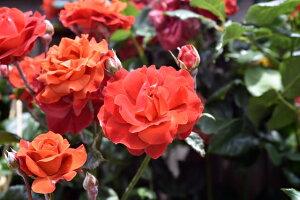 ホット・チョコレート(大苗予約)7号鉢植え 四季咲き中輪房咲き系(フロリバンダローズ)スプレー咲き バラ苗