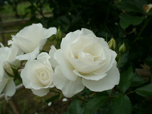 アイスバーグ(大苗)7号鉢植え 四季咲き中輪房咲き系(フロリバンダローズ)スプレー咲き バラ苗 バラの殿堂入り
