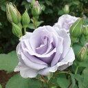 オンディーナ(大苗)7号鉢植え  四季咲き中輪房咲き系(フロリバンダローズ) バラ苗