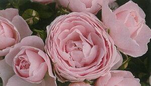ハンス・ゲーネバイン(大苗予約)7号鉢植え 四季咲き中輪房咲き系(フロリバンダローズ) バラ苗