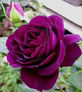 エブタイド(大苗予約)7号鉢植え  四季咲き中輪房咲き系(フロリバンダローズ) バラ苗