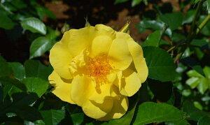 レモン・フィズ(大苗予約)7号鉢植え  四季咲き中輪房咲き系(フロリバンダローズ)スプレー咲き バラ苗