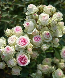 ミミエデン(大苗予約)7号鉢植え  四季咲き中輪房咲き系(フロリバンダローズ)スプレー咲き バラ苗