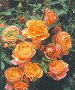 ディズニーランドローズ(大苗)7号鉢植え  四季咲き中輪房咲き系(フロリバンダローズ)スプレー咲き バラ苗