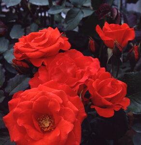 チンチン(大苗予約)7号鉢植え  四季咲き中輪房咲き系(フロリバンダローズ)スプレー咲き バラ苗