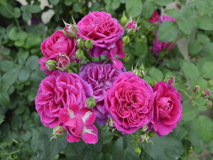 スピネル(大苗予約)7号鉢植え 四季咲き中輪房咲き系(フロリバンダローズ)スプレー咲き バラ苗 2020年新品種
