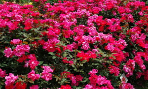 ノックアウト(大苗予約)7号鉢植え  四季咲き中輪房咲き系(フロリバンダローズ)スプレー咲き バラ苗