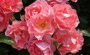 ジャルダン・ドゥ・フランス(大苗予約)7号鉢植え  四季咲き中輪房咲き系(フロリバンダローズ)スプレー咲き バラ苗