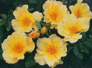 金蓮歩(きんれんぽ)(大苗予約)7号鉢植え  四季咲き中輪房咲き系(フロリバンダローズ)スプレー咲き バラ苗