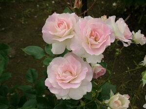 マチルダ(新苗)6号鉢植え  四季咲き中輪房咲き系(フロリバンダローズ)スプレー咲き バラ苗