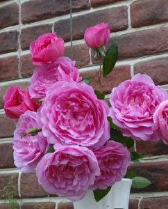 オーキッド・ロマンス(大苗)7号鉢植え  四季咲き中輪房咲き系(フロリバンダローズ)スプレー咲き バラ苗