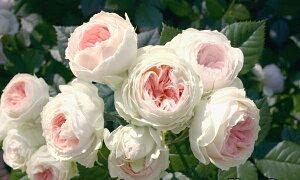 パシュミナ(大苗)7号鉢植え  四季咲き中輪房咲き系(フロリバンダローズ)スプレー咲き バラ苗