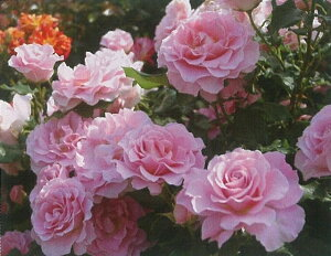 ピンク・フレンチレース(大苗予約) 7号鉢植え  四季咲き中輪房咲き系(フロリバンダローズ)スプレー咲き バラ苗