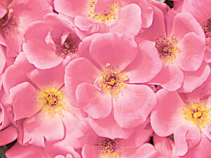 ピンク・ノックアウト(大苗予約)7号鉢植え  四季咲き中輪房咲き系(フロリバンダローズ)スプレー咲き バラ苗
