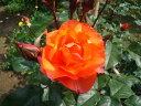 プリンセス・ミチコ(大苗)7号鉢植え  四季咲き中輪房咲き系(フロリバンダローズ)スプレー咲き バラ苗
