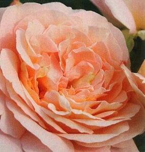 ザンガー・ハウザー・ユビレウムスローゼ(大苗予約)7号鉢植え  四季咲き中輪房咲き系(フロリバンダローズ)スプレー咲き バラ苗
