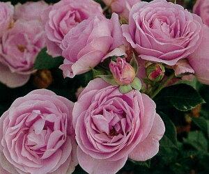 しのぶれど(大苗)7号鉢植え  四季咲き中輪房咲き系(フロリバンダローズ)スプレー咲き バラ苗