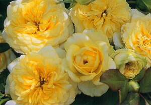 サンライト・ロマンティカ(大苗予約)7号鉢植え  四季咲き中輪房咲き系(フロリバンダローズ)スプレー咲き バラ苗