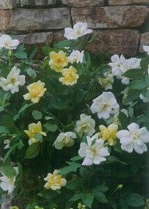 サニー・ノック アウト(大苗予約)7号鉢植え  四季咲き中輪房咲き系(フロリバンダローズ)スプレー咲き バラ苗